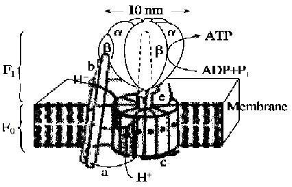 氨基酸的分子结构通式及其结构特点  atp合成酶是细胞中常见的蛋白质
