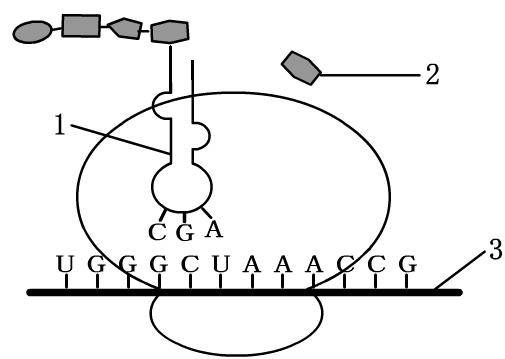 下图是大白鼠细胞内蛋白质合成的一个过程