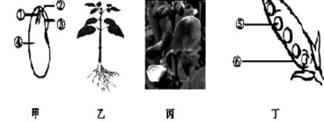 如图为菜豆不同生长发育时期的结构示意图
